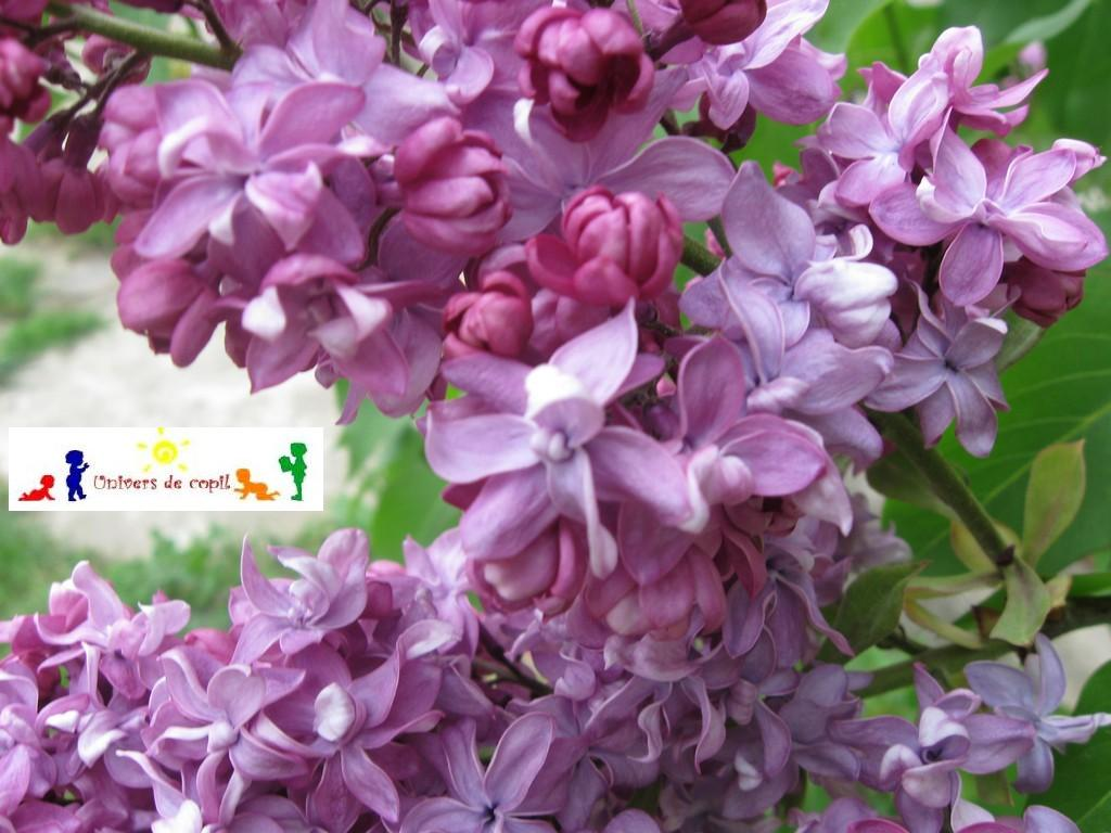 Imagini Flori De Liliac Related Keywords & Suggestions ...